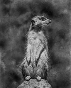 Surikat Meercat